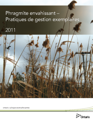 Invasive Phragmites – French