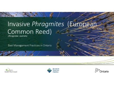 Invasive Phragmites presentation