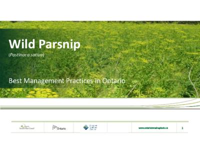 Wild Parsnip presentation