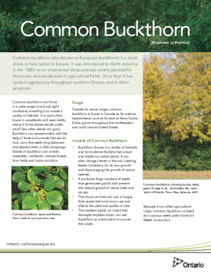 Buckthorn – English