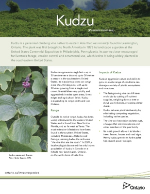 Kudzu ENGLISH