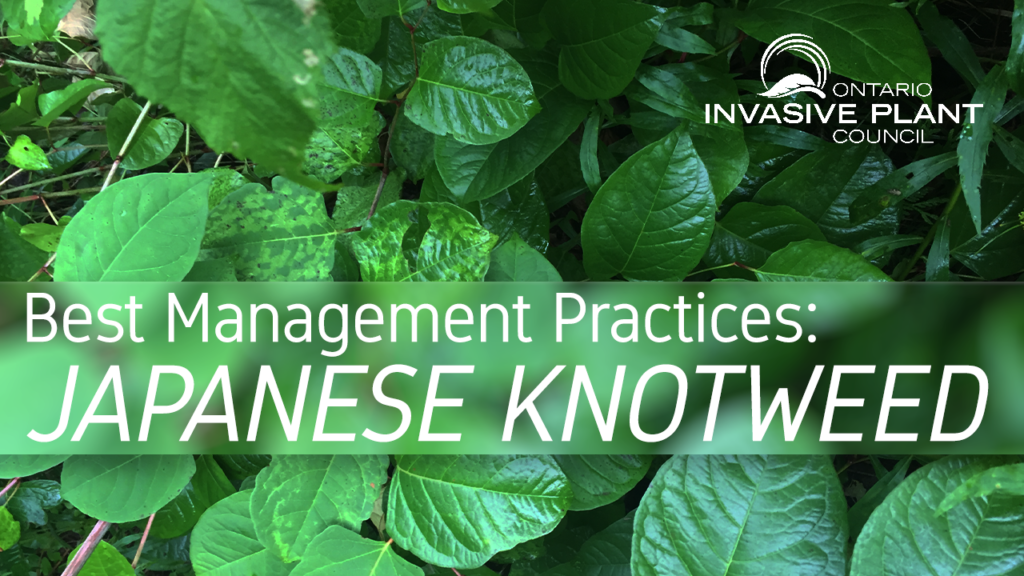 Best Management Practices: Japanese Knotweed