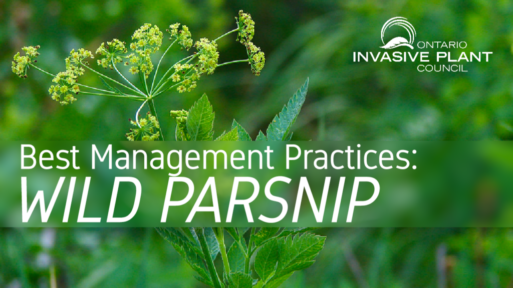 Best Management Practices: Wild Parsnip