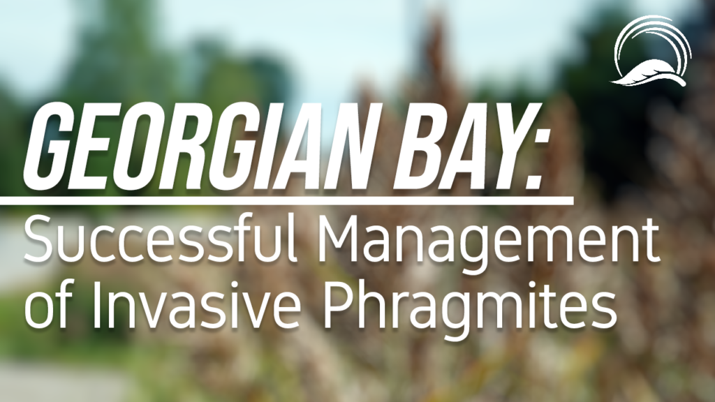 Successful Management of Phragmites in Georgian Bay