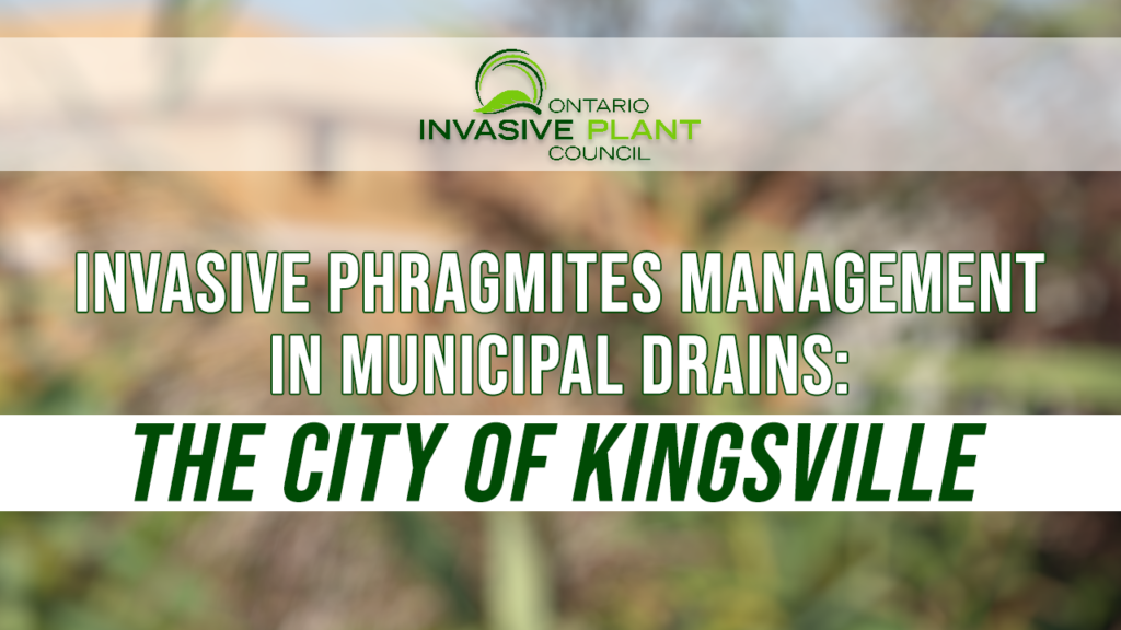 Invasive Phragmites Management in Municipal Drains: The City of Kingsville