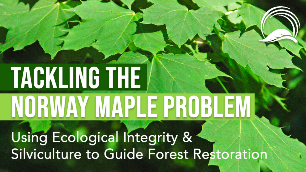 Tackling the Norway Maple Problem: Using Ecological Integrity & Silviculture to Guide Forest Restoration