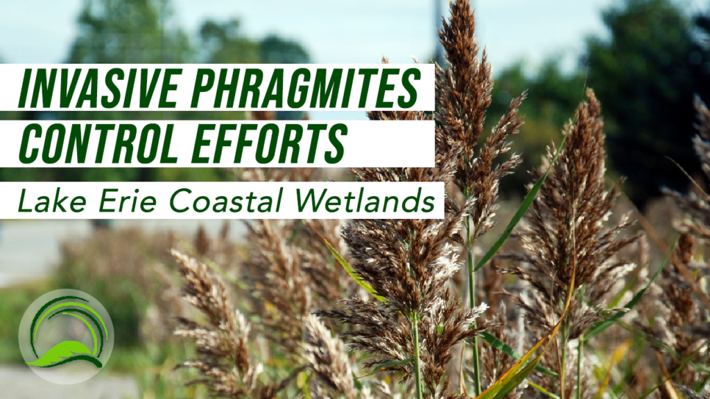 MNRF: Invasive Phragmites Control Efforts in Lake Erie Coastal Wetlands